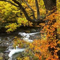 *【周辺の渓流】当館の周辺はとにかくきれいな黄葉に染まります!