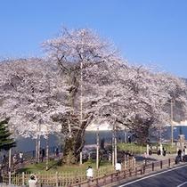 【荘川桜】