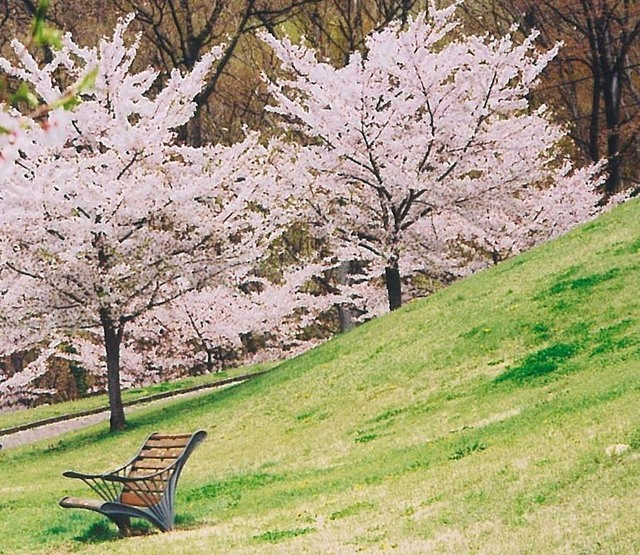 巨大な天狗像がある「キティパーク」の桜