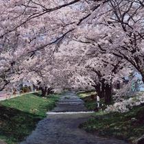 春「観音寺川の桜並木」