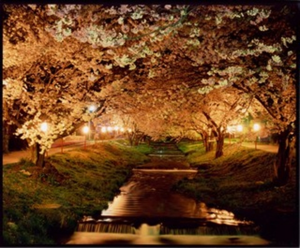 春「観音寺川の夜桜」