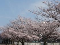 ホテル前の桜並木