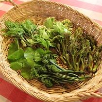 *[採れたて山菜]春~初夏にかけて採れる山菜は、天ぷらやおひたしなどでお召し上がりいだきます