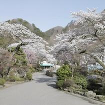 敷地内 桜並木の様子