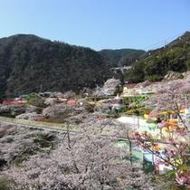 桜の名所♪遊園地ラクテンチ