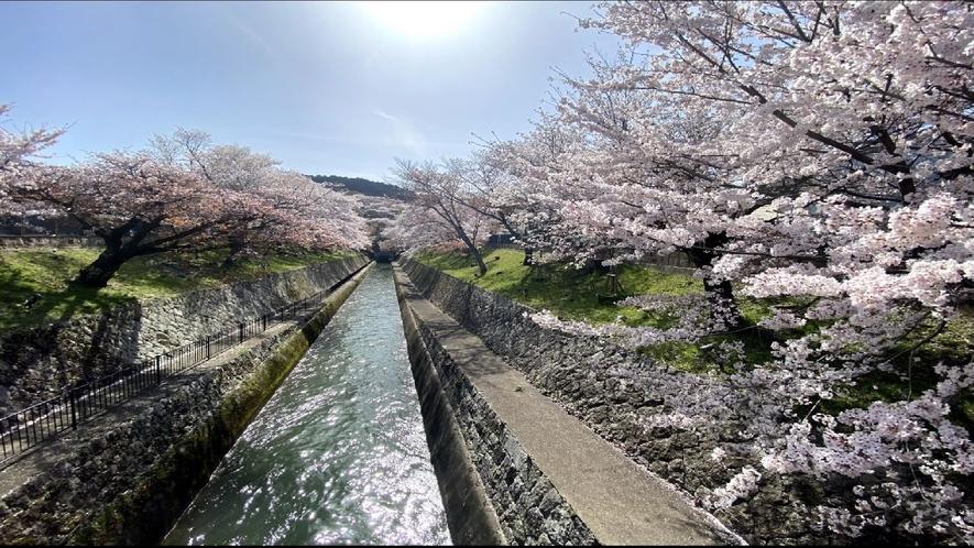 ■春の琵琶湖疎水【桜】■