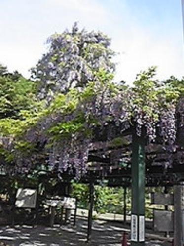 岡神社の藤棚