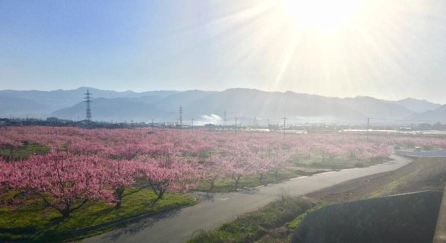 ピーチラインから望める桃の花