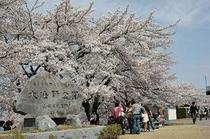 日本100選大法師公園の2000本桜