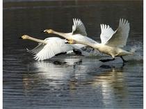 琵琶湖の白鳥
