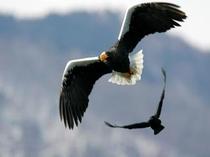羽を広げたオオワシ