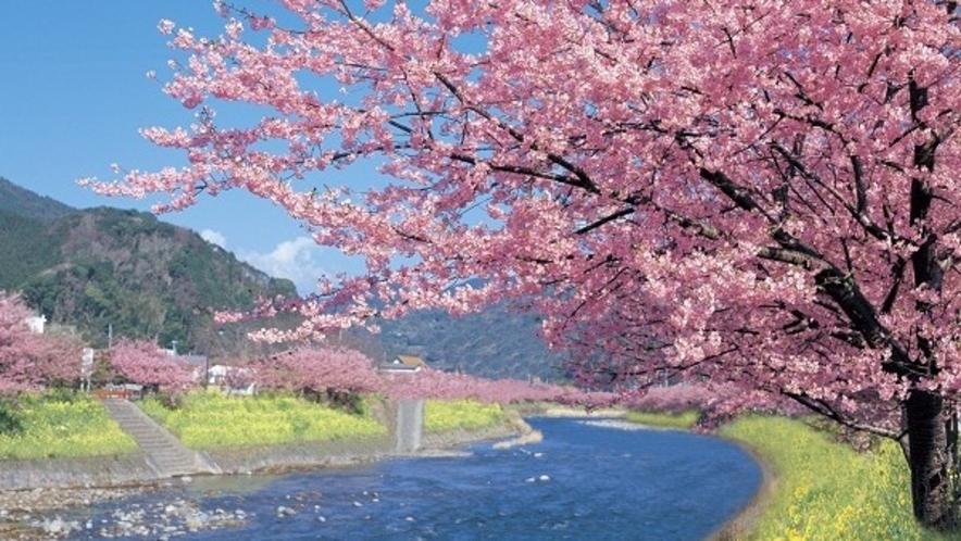 2月は河津桜が見頃に。