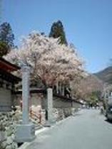 龍泉寺 桜