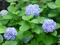 あらかわ荘 玄関の紫陽花(紫)