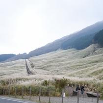 *【周辺】秋風にゆらめき、黄金色の波が広がる~仙石原すすき草原