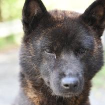 *当館の看板犬『甲斐犬』の【ナナ】ちゃんも、皆様のお越しをお待ちいたしております♪