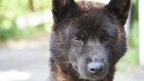 *当館の看板犬『甲斐犬』の【ナナ】ちゃん芦安は甲斐犬発祥の地といわれており当館の番犬は代々甲斐犬です