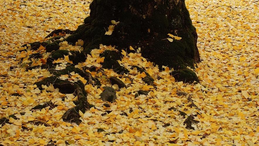 【秋】黄色のイチョウの絨毯(11月下旬)
