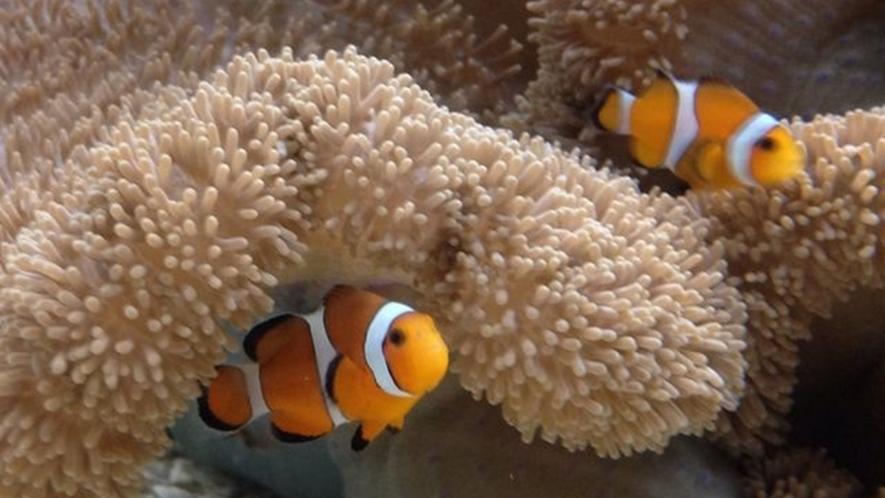 サンピアザ水族館「カクレクマノミ」