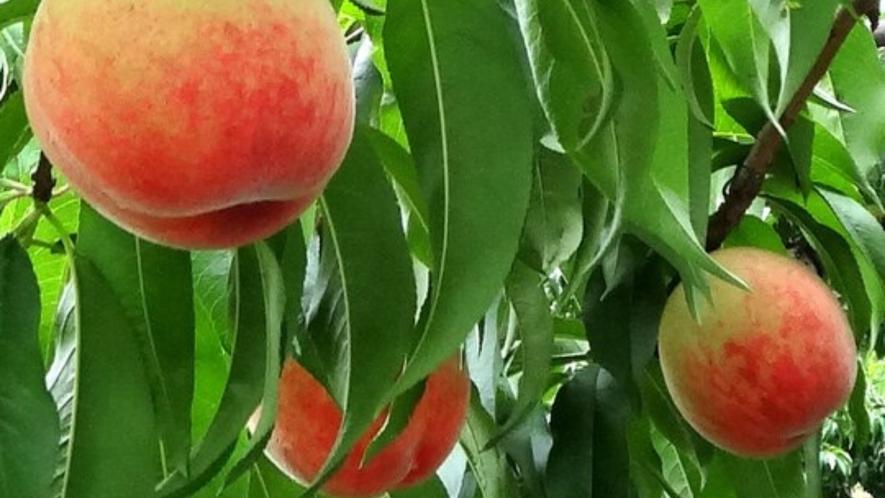 日本一の生産量を誇る山梨の桃!もぎたてを味わう贅沢♪