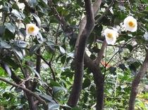 「白玉椿」(日本庭園)