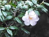 庭の片隅にひっそりと咲く「椿」