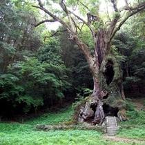 武雄神社の大楠