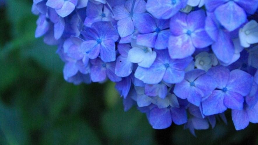 湖畔では色とりどりの紫陽花が楽しめますよ♪