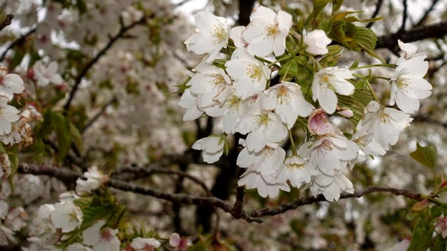 春には満開の桜を見ることができるんです♪四季折々の景色を楽しみに、遊びにいらしてくださいね。