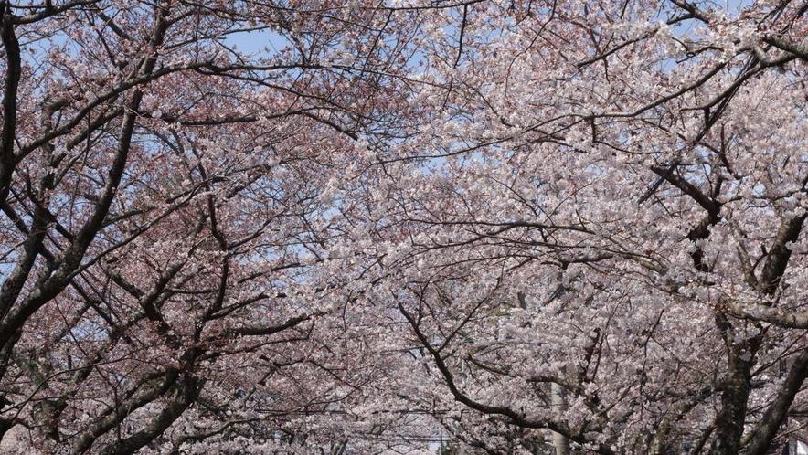 伊豆高原の桜並木。桜のトンネルを通り抜けて、春をいっぱいに感じてください。