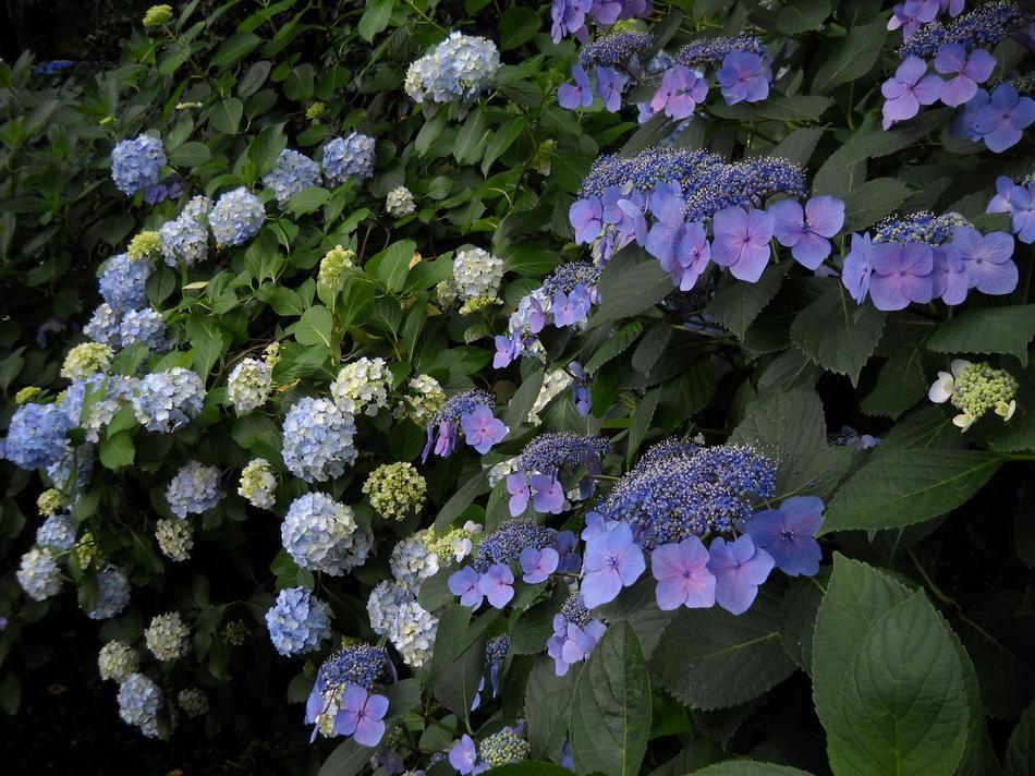 高幡不動尊境内の紫陽花