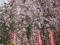 高幡不動尊の満開桜