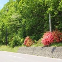 新緑とレンゲツツジの咲く万座ハイウェー(5月中旬~6月頃)