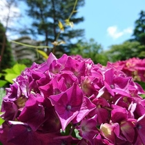 ホテルと紫陽花