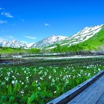 [栂池高原]湿原に水芭蕉が広がります。見頃は6月頃。(見頃は目安)