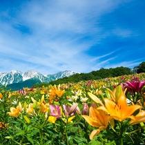 [白馬岩岳]咲き誇るゆりの中を散策。7月中旬~8月が見頃です。(見頃は目安)