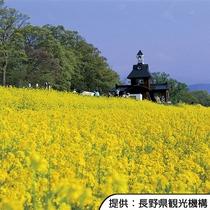 【飯山市菜の花公園】4月下旬~5月中旬(見頃の目安)/ホテルから車約40分(高速道路+一般道)