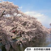 【臥竜公園の桜(昼)】4月中旬~4月下旬(見頃の目安)/ホテルから車約40分