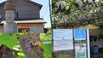 [観光]河北潟農園モアイ(車で約36分)食べ放題のぶどう狩りは7月上旬から8月下旬*