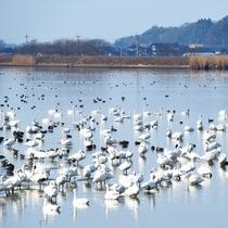 羽咋市【邑知(おうち)潟】は渡り鳥越冬の地※車で約25分