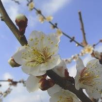 当地みなべ町は、紀州南高梅の代表的産地です。毎年2月頃には、あたり一帯が梅の香に包まれます♪