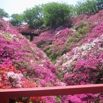 【淡輪遊園】5月のGW頃つつじが咲き誇ります。