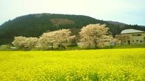 川渡河川敷の菜の花と桜