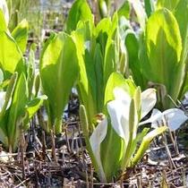 【春】4月はホテルゲレンデ内に水芭蕉の群生地♪