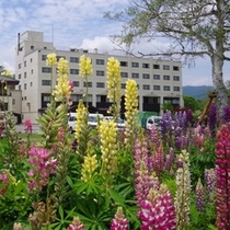 【春】春の庭に咲く鮮やかなルピナス