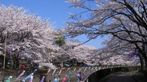 【周辺景色】春になると当ホテルの前の川沿いに桜が咲き乱れます。