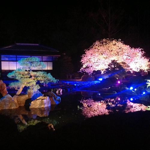 【4月上旬】二条城・桜のライトアップ♪