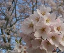 春を告げる十王の桜(例年4月上旬〜中旬が見頃となります)