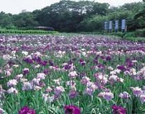 北潟湖花菖蒲園