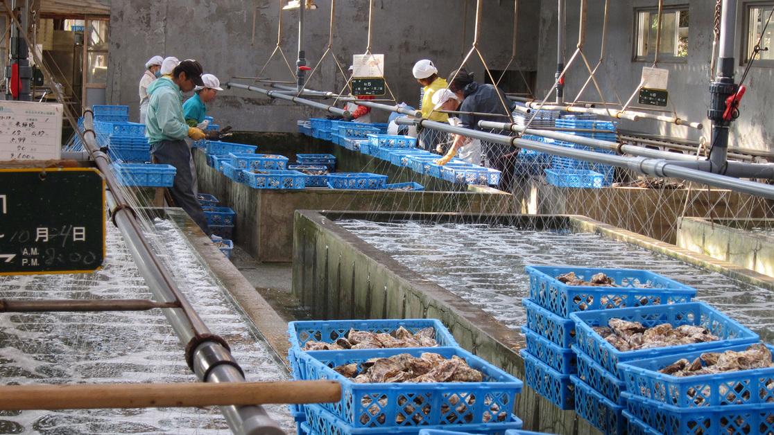 *浄化された安心の牡蠣